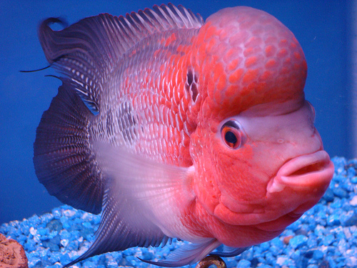 Feng shui with flower horn good morning world for Good pet fish
